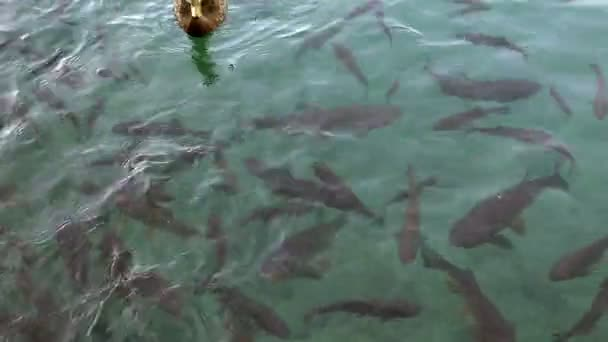 Close up shot of a shoal of fishes and ducks swimming inthe Plitvice lake