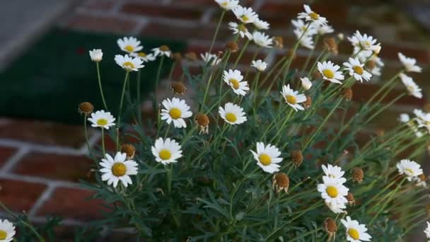 shot z květu sedmikrásky