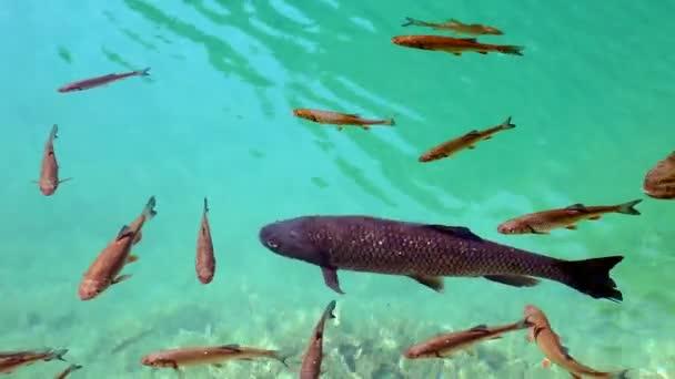 zblízka střílel hejno ryb koupání v Plitvická jezera
