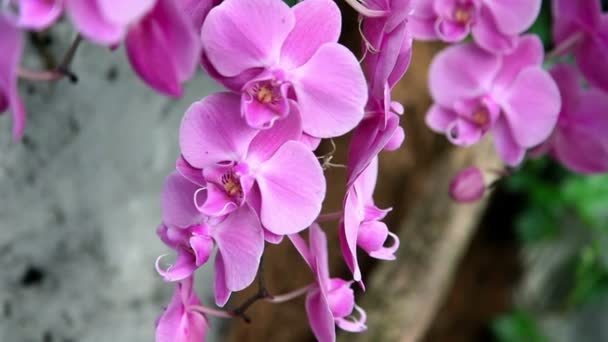 Beautiful pink-purple orchids blossom