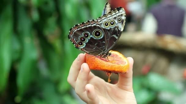 Butterfly eating orange fruit