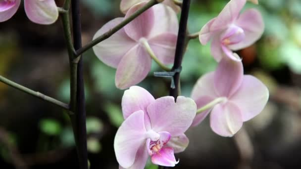 Close pan shot of a pink orchid