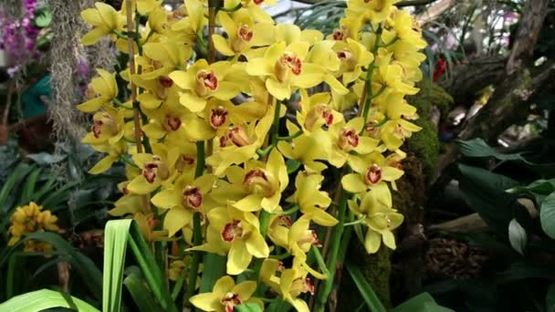 Beautiful multiple yellow orchids blossom