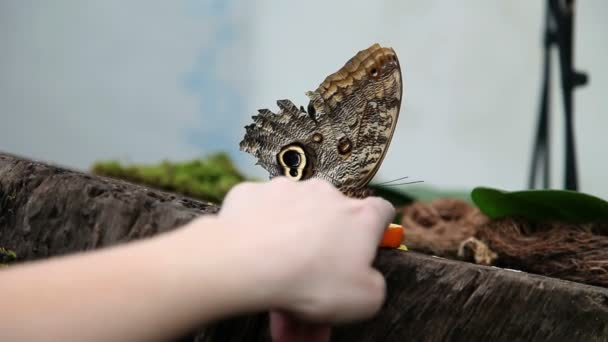 A nice brown butterfly on an anonymous hand