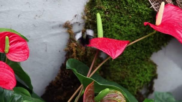 Serpenyőben egy kis fekete pillangó piros egzotikus virág lövés