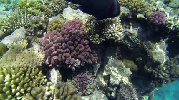 Fische kreuzen neben Korallen