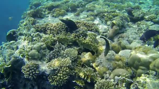 černé ryby plavání přes moře korály