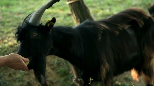 zblízka kozy na pastvině