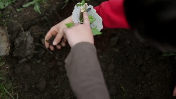 Planting blueberries in fresh soil