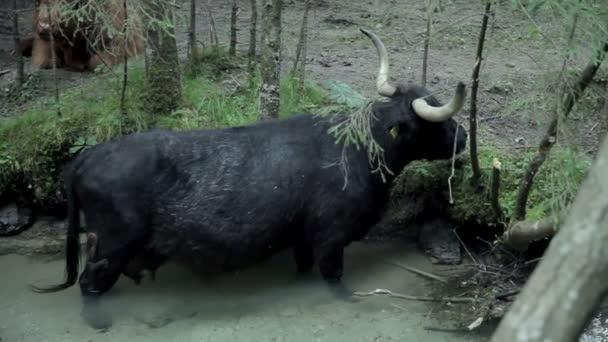 Black bull grazing in river