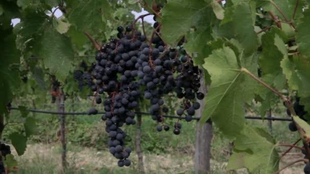 Zárja be a lövés a szőlő, a levelek és a szőlő.