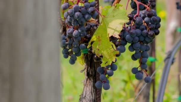 Tilt shot of bunch of blue grapes and vines