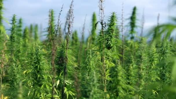 velké oblasti průmyslového konopí rostlin