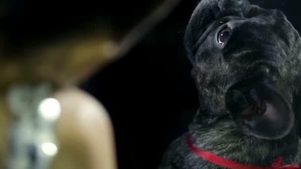 Francia bulldog ülés mellett nő, autó vezetés
