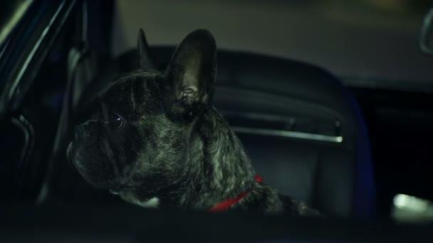 Francia bulldog, nézegette a kocsi ablakon