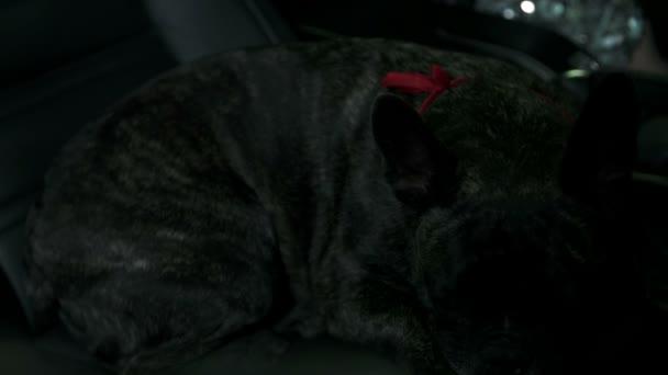 francia bulldog utas ülés nyugalmi