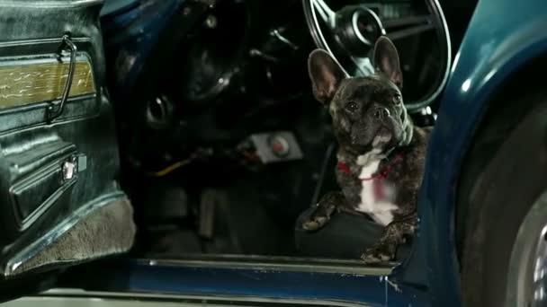 Francia bulldog, az autó jumping