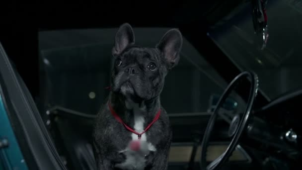 French bulldog sitting in blue car and looking around