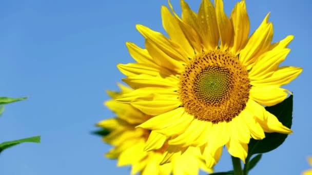 Slunečnice vyvikláním ve větru