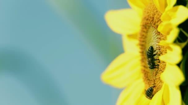 Slunečnice hlava se dvěma včely mávat ve větru