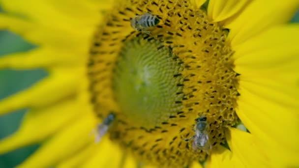 včely sběru pylu na hlavu si květ