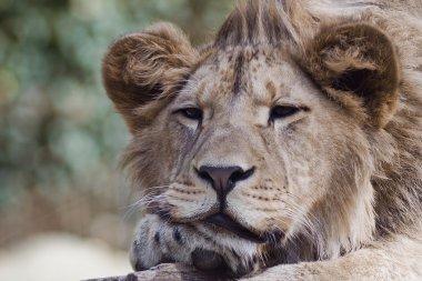 "Картина, постер, плакат, фотообои ""лев в зоопарке "", артикул 26565275"