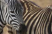 Zebra v Afrika safari