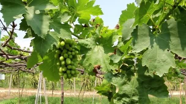 Green grapes natural farm