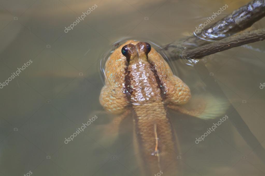 Mudskipper in a Mangrove Swamp