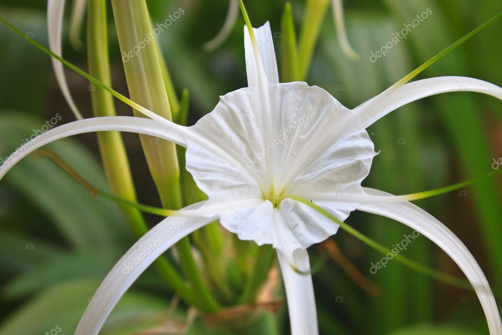 Flor de azucena images galleries with for Azucena plantas jardin