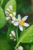 Květu citroníku s zelený list
