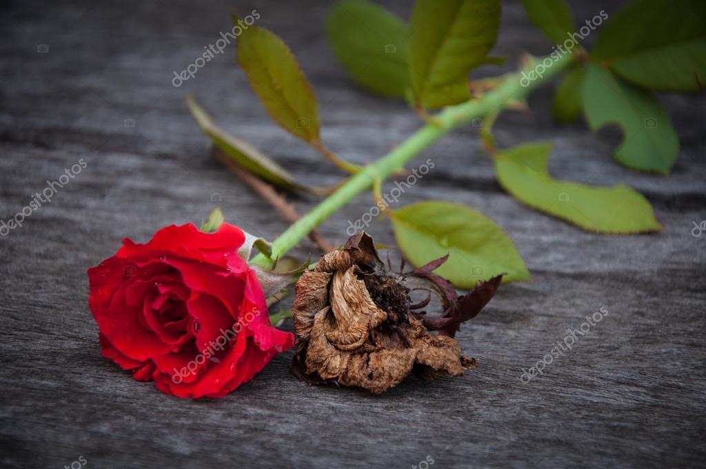 fresh and dies roses on wooden background