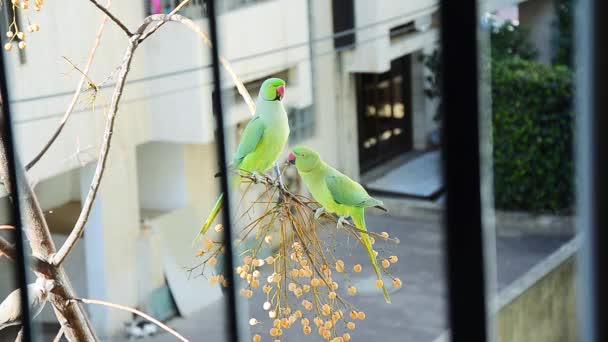 Papouška? ourtship