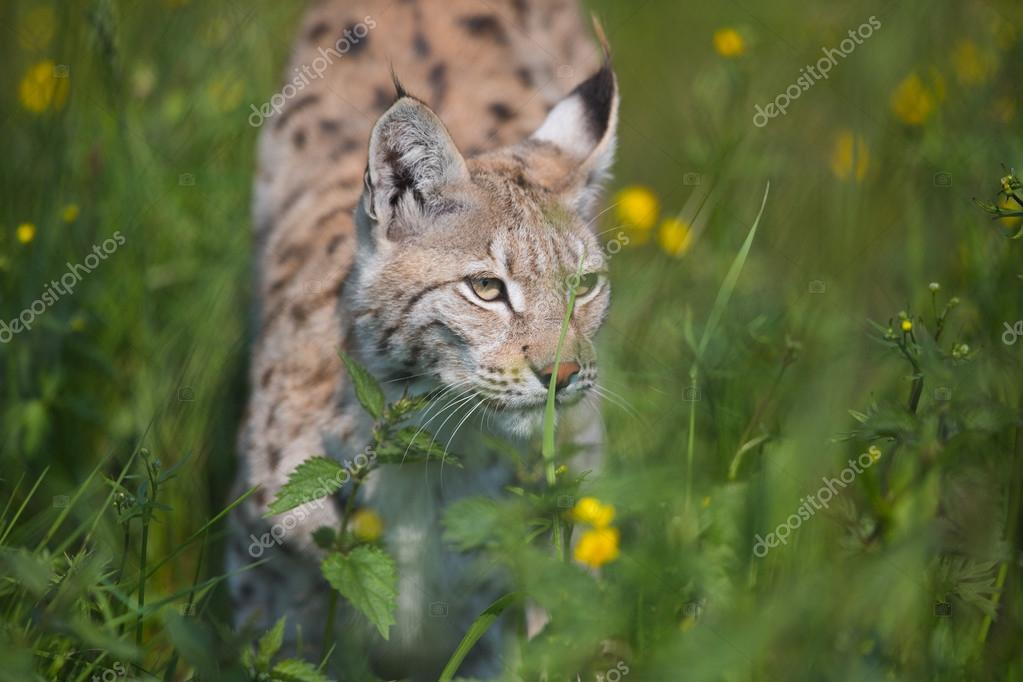 Lynx sneaking in the grass