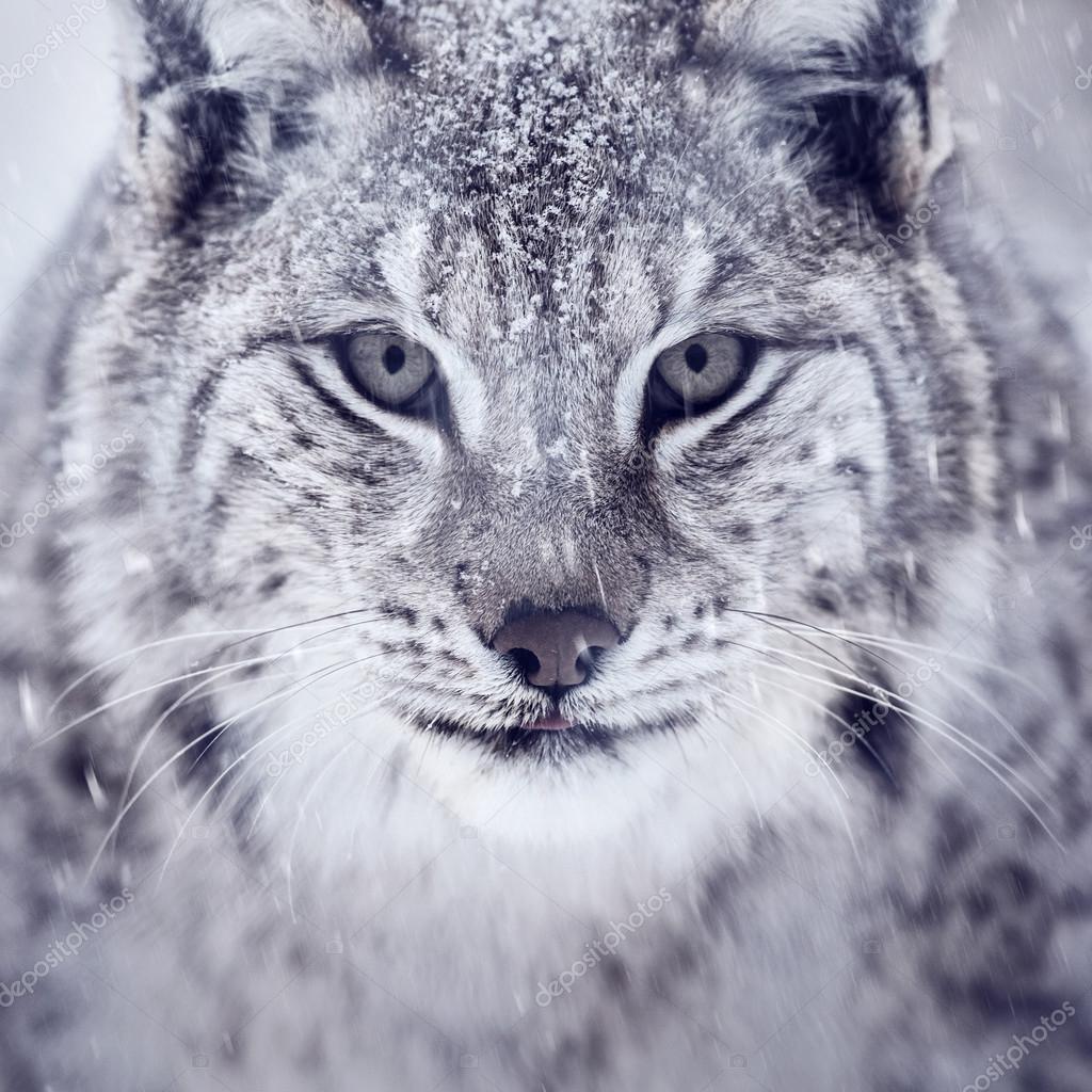 Lynx looking into camera