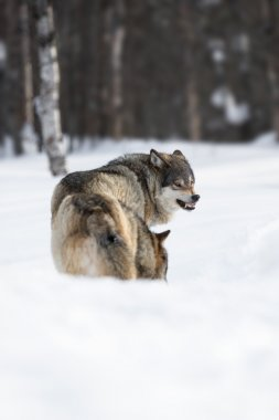 Two angry wolves in the Snow