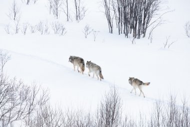 Wolf pack walking in winter landscape