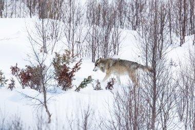 Lonely wolf in the winter