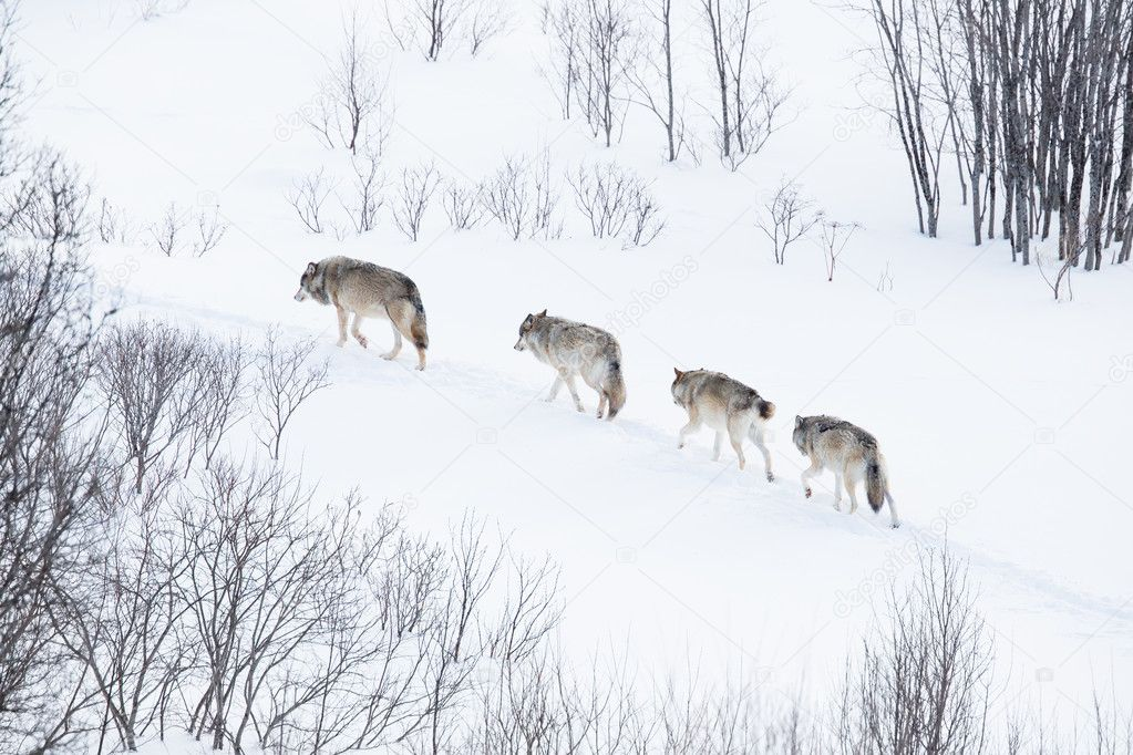Wolf pack running in the cold landscape