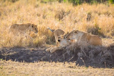 Lions cleaning her cubs