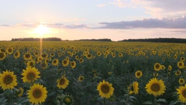 pole s slunečnice při západu slunce.