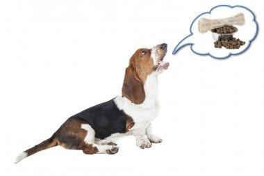 Basset hound dog barking