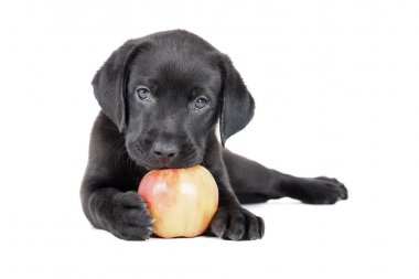 Labrador puppy with an apple