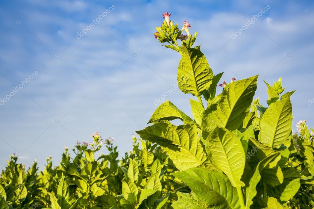 Pflanze Mit Großen Blättern grüne tabak pflanzen mit großen blättern und rosa blüten stockfoto