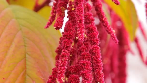 Red flowers amaranth in the garden, vegetable garden