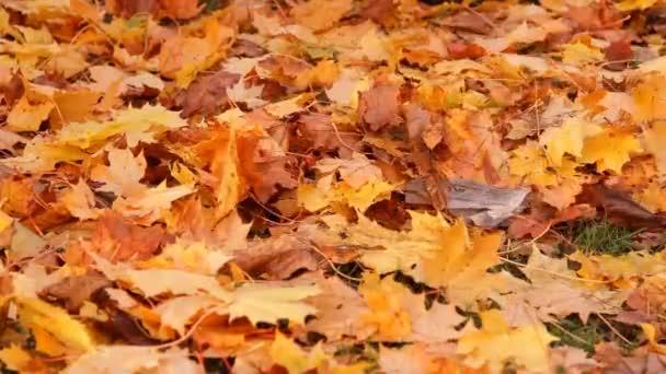 Autumn, shipping yellow maple leaves to rake