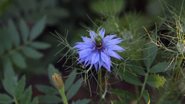 Blue flower in the garden cornflower