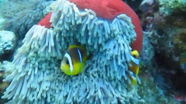 Bohóc hal úszni a korallok, korall-zátony