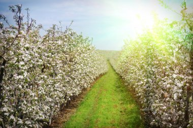 A blossoming apple orchard