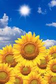 Krásné slunečnice izolovaných přirozeně na modré obloze